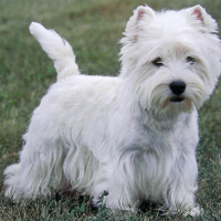 Esto va de Razas!! West Highland White Terrier